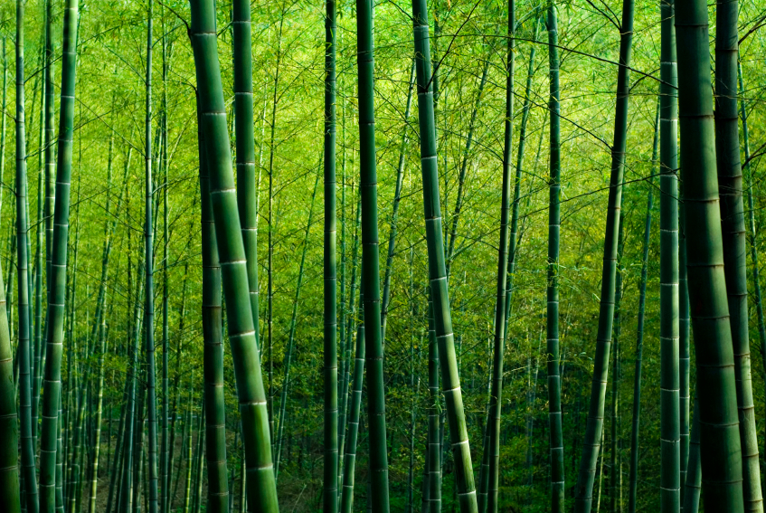 green-bamboo-forest